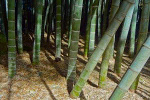Beautiful shadows dance among the trees in the green bamboo grove