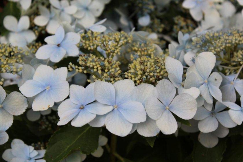 Blue Ajisai