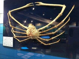 ปูแมงมุมญี่ปุ่นมีช่วงขาที่ยาวที่สุดในโลก (สูงสุด 5.5 เมตรจากกรงเล็บถึงกรงเล็บ)