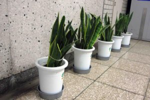 Some welcome greenery in the passageways of Hibiya Station.