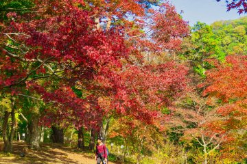 Maple Trees at Tsukinoishi Momiji Park