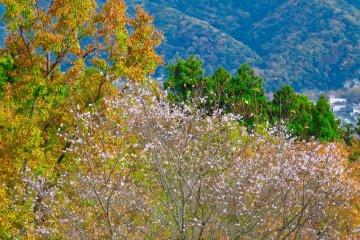 Plum Trees blooming in November