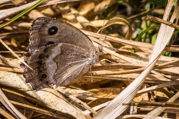 A female Dryad (Miniois dryas) hides among some fallen brown grasses