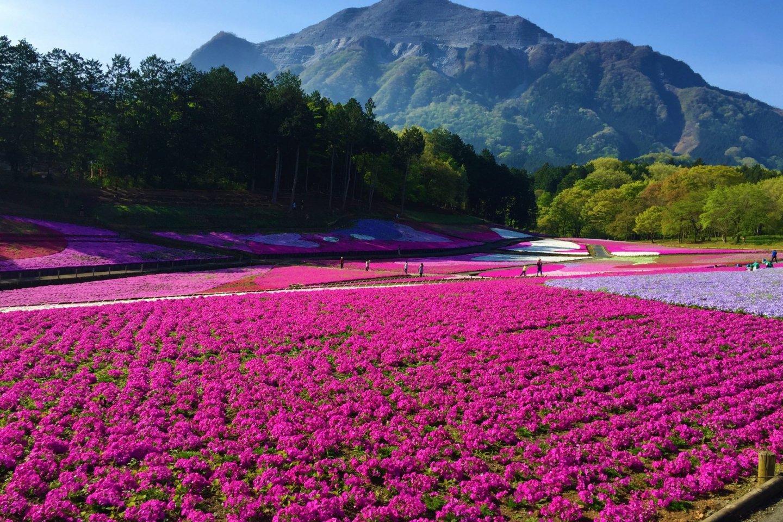 Un magnifique champ Shibazakura (mousse phlox)