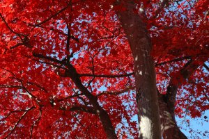 Togo Park's breathtakingly beautiful maple trees in the day.