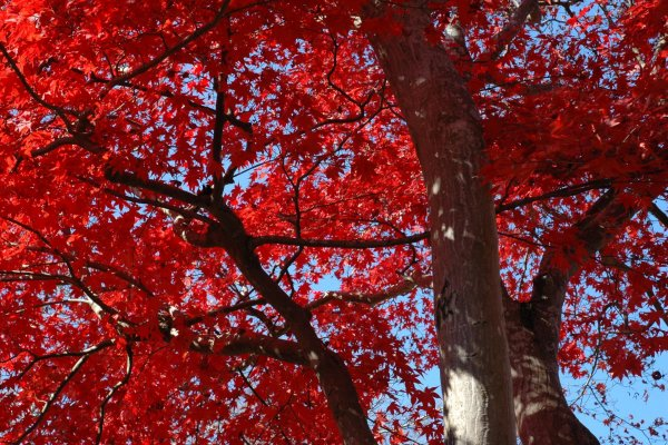Togo Park\'s breathtakingly beautiful maple trees in the day.