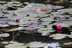 Водяные лилии в саду Риннодзи