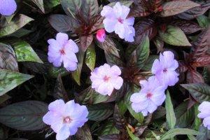 Часто встречающиеся цветы на газонах Сендая