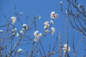 Сакура, цветущая весной и осенью