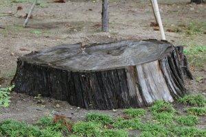 Пень кедра, повреждённого цунами