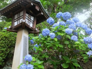 Hydrangea and lanterns along the side of the stairs