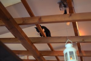 The ceiling rafters make a great climbing frame for the cats.