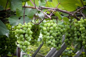 The Famous Grapes