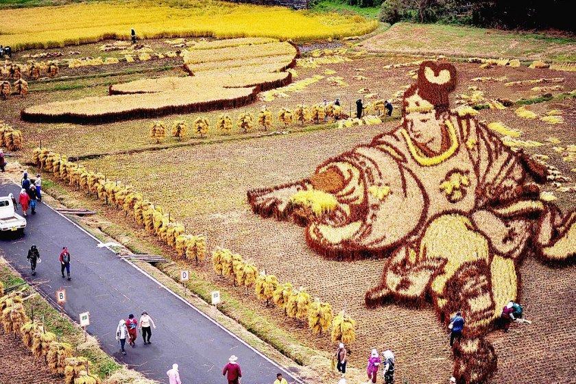 No ano de 2010 (quando foi tirada esta foto) a colheita foi feita no início de Outubro. Pode ver-se que o desenho já está totalmente em tons de castanho.