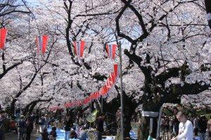 Красавица в весеннем кимоно