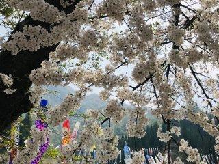 Dưới những bông hoa anh đào mềm mại