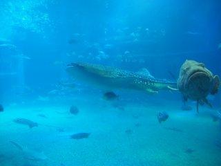 นัดพบกับฉลามวาฬ