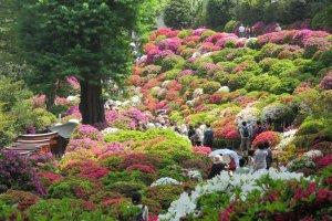 Фестиваль азалии в храме Нэзу