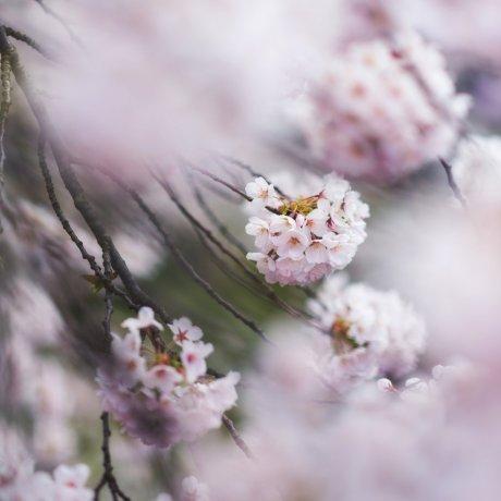 Panduan Bunga Sakura: Ragam Bunga