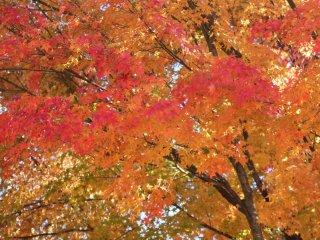 """""""Momiji"""" leaves in red"""