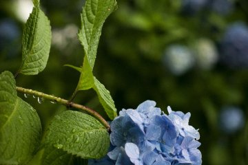 Hydrangeas are dotted around the place, giving a spark of colour to the green landscape.