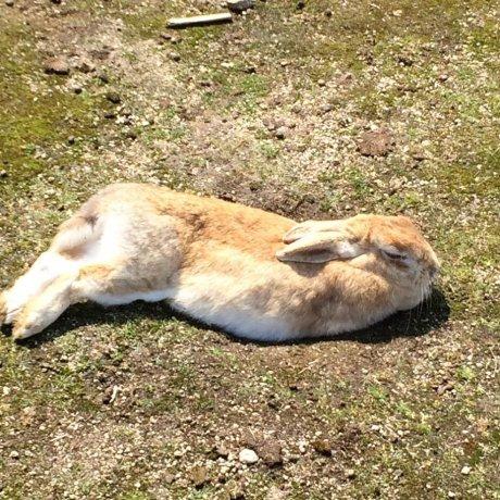 Okunoshima : l'île aux 1000 lapins