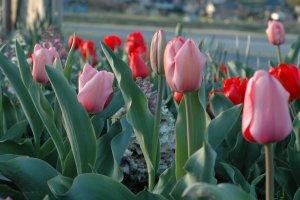 Spring is Kinchakuda's most colorful season