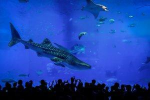 One of three whale sharks that calls the Kuroshio Sea home