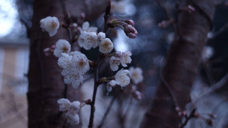 The hibernating buds wake up to full blossoms.