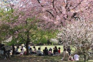 Пикники во время ханами, Токио