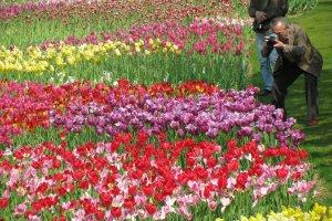 Поля тюльпанов в апреле, Хамамацу