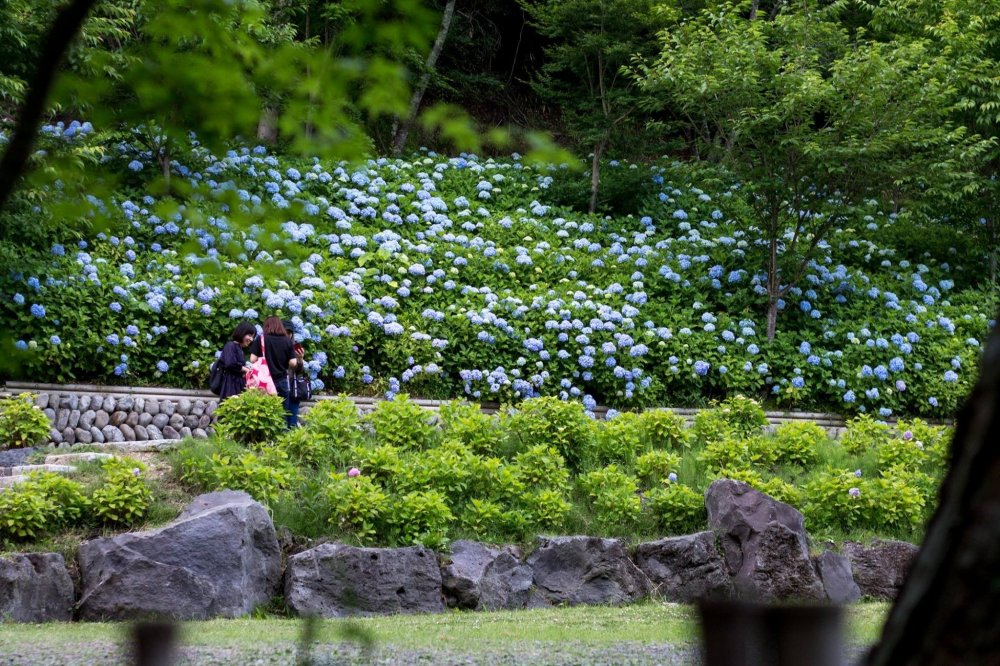 The temple hydrangea gardens in bloom