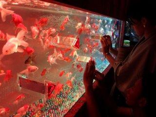 Фотографирующие энтузиасты стараются поймать хороший кадр красивых золотых рыбок, плавающих в калейдлоскопе.