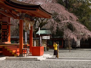 Cherry blossoms bloom alongside the main hall where visitors stop to pray