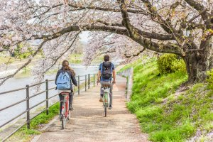 Riverside cycling ride under the cherry blossom