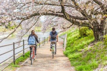 Paseo en bicicleta por el río bajo los cerezos en flor