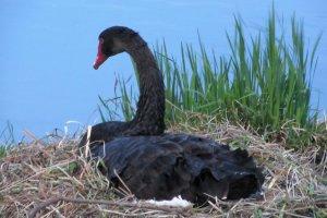 Лебедь на гнезде в Мито
