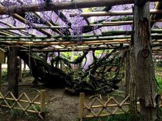 Massive, gnarled vines attest to the age of the wisteria