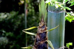 A fat bamboo shoot