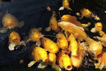 Hungry ornamental carp