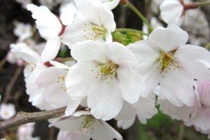 Лепестки сакуры используют для приготовления джема, желе и весеннего чая