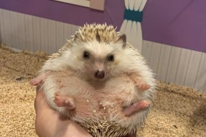 A staff member showing what the hedgehog looks like curling up into a ball.