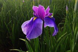 Mizumoto Park Iris Festival