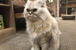 Мыслитель Рико, барышня, 1 год, наполеоновская кошка