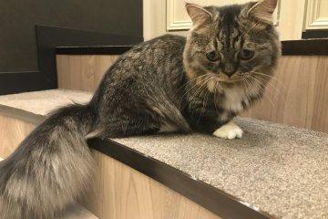 Вечно печальный Митумамэ, парень, 1 год, наполеоновская кошка