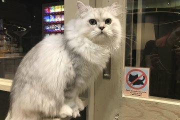 Полон надежд и ожиданий Сиратама, парень, 1 год, персидская кошка