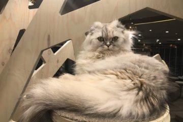 Удивленная Рико, барышня, 1 год, наполеоновская кошка
