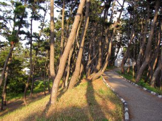 The alley of bent pines along the coast at Bentenjima