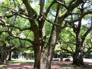 Large trees in Omiya Park