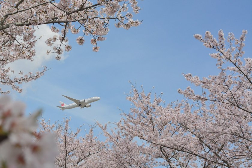 A Japan Airlines flight over the cherry trees